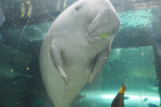 A dugong eats lettuce at the Sea Life Sydney Aquarium.