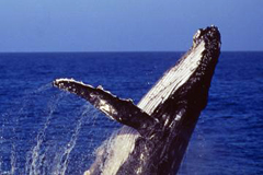 Sydney whale watching cruises