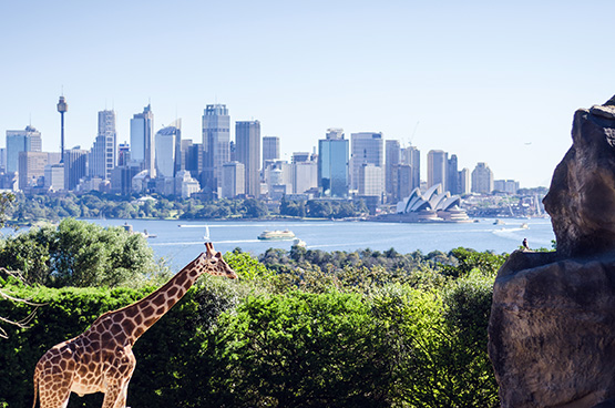 Giraffe enclosure at Taronga Zoo, Sydney