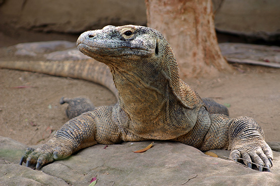 Komodo dragon at taronga Zoo, Sydney