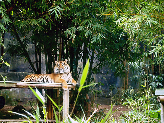 A tiger in his zoo enclosure., Sydney